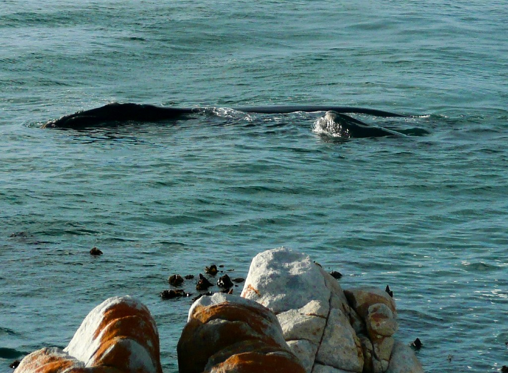 Hermanus, Southern Right Whales